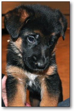 German Shepherd Puppies For Sale (5 Weeks Old)