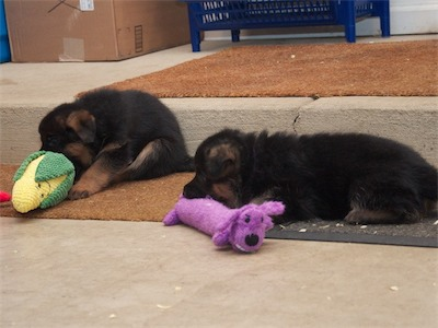 Blue and Purple chewing on their toys