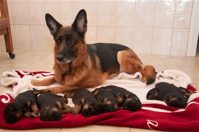 Lotta with her puppies