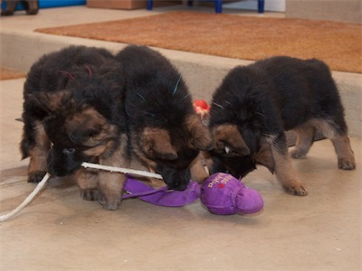 Red, Bue & White playing tug