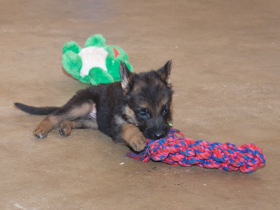 Image Result For German Shepherd Puppies For Sale In Nd
