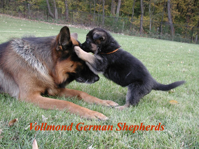 If you are looking for a German Shepherd puppy or an adult ...