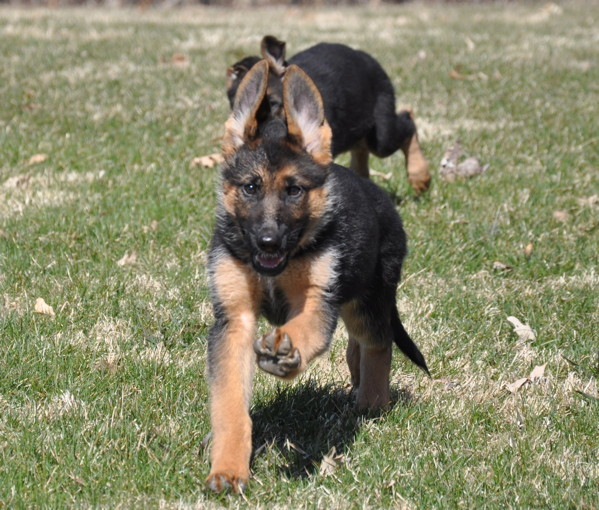 Pedigree German Shepards breeder. Contains pedigree information and photos.