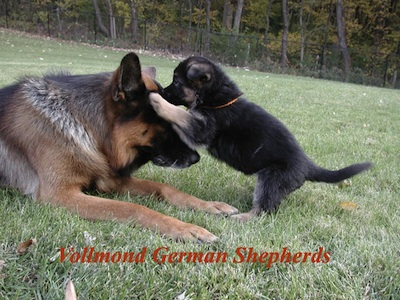 Karo with Eika's German Shepherd Puppy