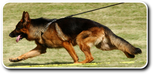 Karo gating around the ring in a dog show