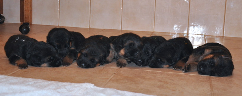All 7 German Shepherd Puppies