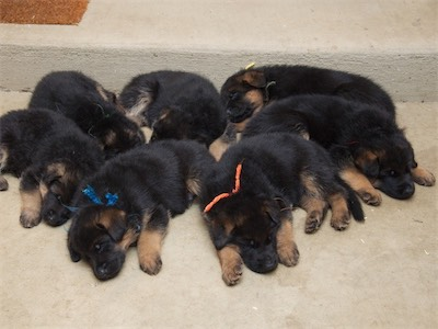 All the puppies are now asleep