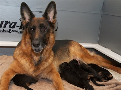 Lotta and a few puppies feeding