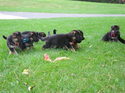 Most of the puppies running after mom