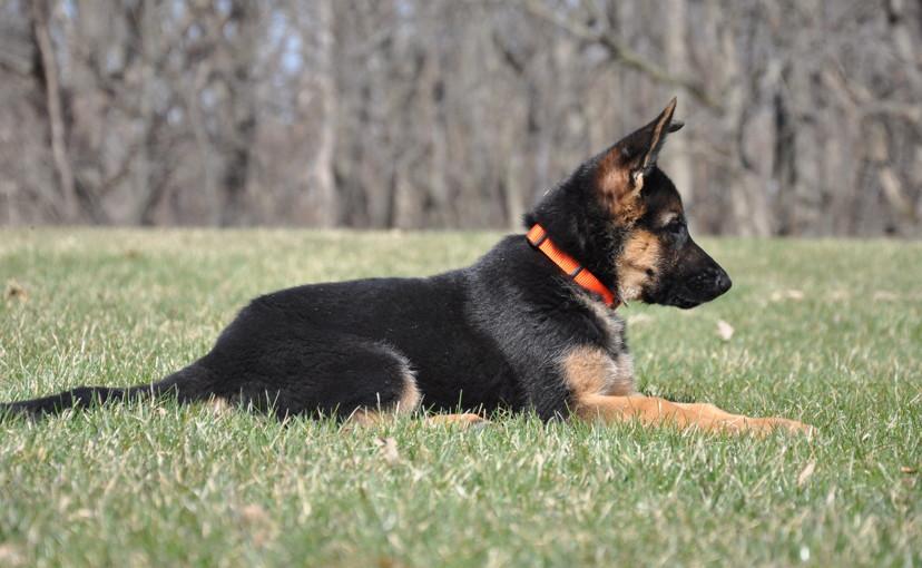 German Shepherd Female Show Dogs For Sale Illinois