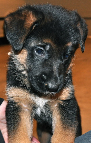 Vollmond - German Shepherd Puppies For Sale   Chicago